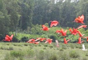 Soure ibis rouges