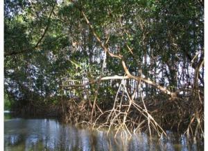 Soure mangrove